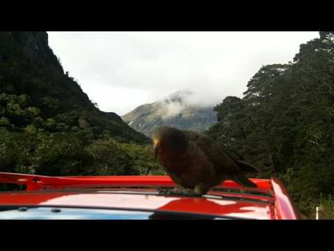 Kea Parrot Eating Rubber
