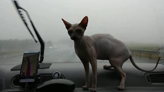 "Sphynx Kitten Enjoying a Car Ride ""Chikita"" / DonSphynx /"