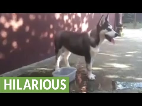 Confused puppy tries swimming in bowl of water
