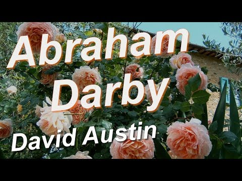 Abraham Darby Rose David Austin