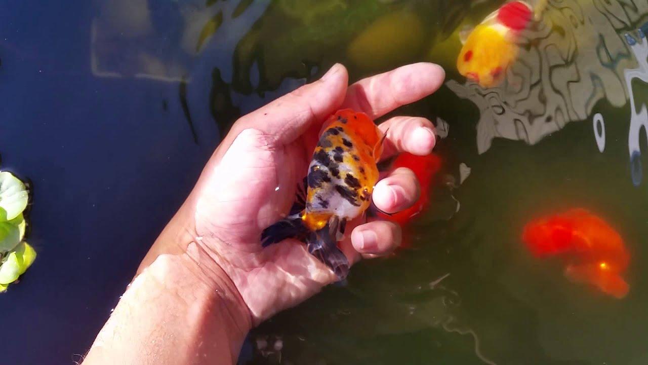 My goldfish pond doovi for Breeding pond fish