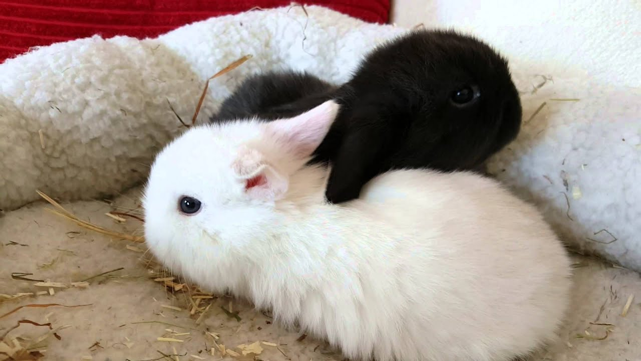 frosty point mini lop and black mini lop youtube. Black Bedroom Furniture Sets. Home Design Ideas