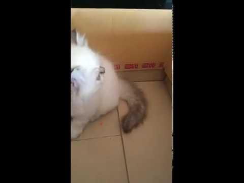 {ตัวที่2} ขายลูกแมวเปอร์เซียหิมาลายันแท้ อายุ2เดือน