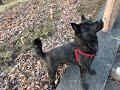 Dog (Shadow) Kai Ken, Japanese breed の動画、YouTube動画。