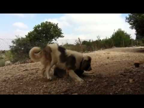 נפלאות רועה קווקזי חפול ונומה - YouTube VP-22