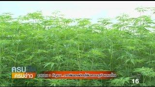 """""""กัญชง""""จากพืชเสพติดสู่พืชเศรษฐกิจแสนล้าน"""