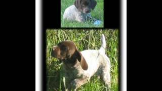 Beautiful German Shorthaired Pointer Puppies, Puppies And More Puppies