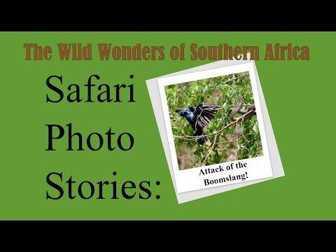 Safari Photo Stories: Attack of the Boomslang!