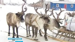 В Норильск из тундры на вертолете прилетели северные олени