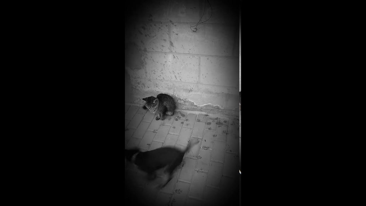 Драка между собак и кошек - YouTube