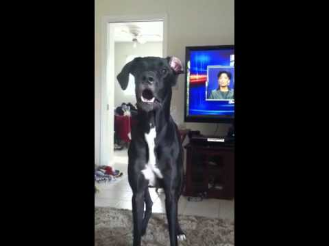 Great Dane gets mad - ...