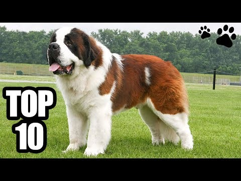 TOP 10 - Le razze di cani più grandi del mondo