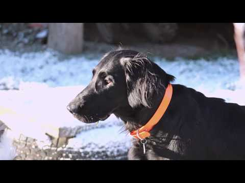 Hunde im Garten... im Winter... Lurcher, Labrador, Flat Coated Retriever