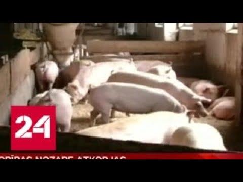 Африканская чума свиней зафиксирована почти на всей территории Латвии Россия 24