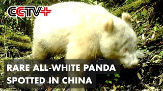 Rare All-white Panda Spotted in Southwest China Again