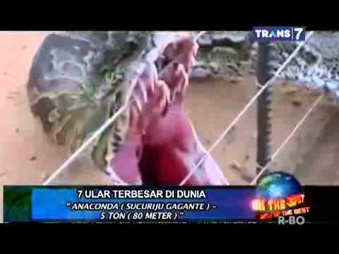 Ular Anaconda Terbesar Di Dunia