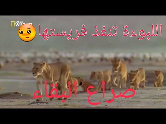 وثائقي باللغة العربية - صراع البقاء ( 1 ) المطارده او الهروب    !! عالم الحيوان