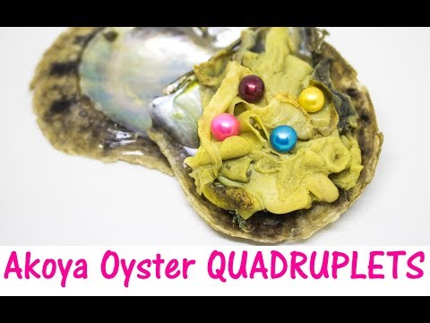 Opening QUADRUPLET Akoya Oysters! Look at these beautiful QUAD 4 PEARL Oysters! Maddie's Pearl Party