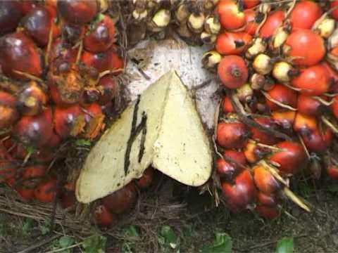 Sime Darby Co. - Palm oil Plantation Malaysia