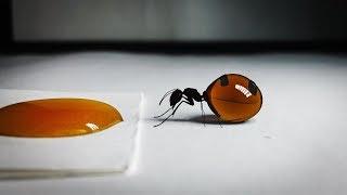 Bir Karınca Bal Yerse Ne Olur ? Hayvanlarla İlgili Daha Önce Hiç Duymadığınız Gerçekler.
