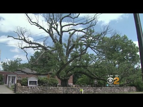 White Oak Dying In Basking Ridge