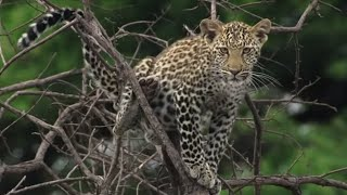 Heart Stopping Big Cat Moments | Top 5 | BBC Earth