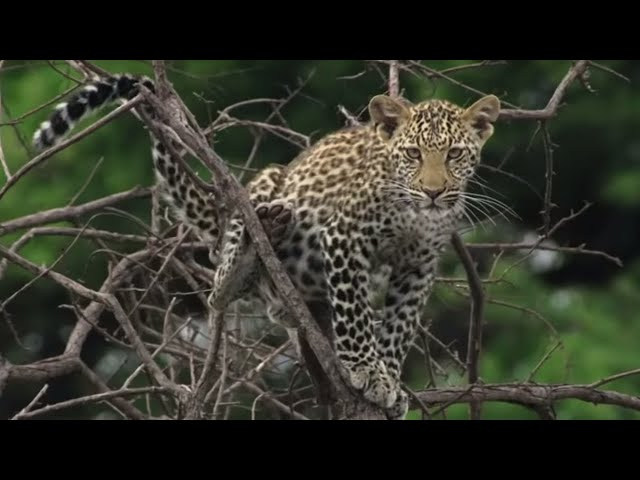 Heart Stopping Big Cat Moments   Top 5   BBC Earth