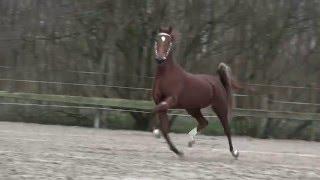 Dutch Harness Horse outcross Hello Beautiful RSH