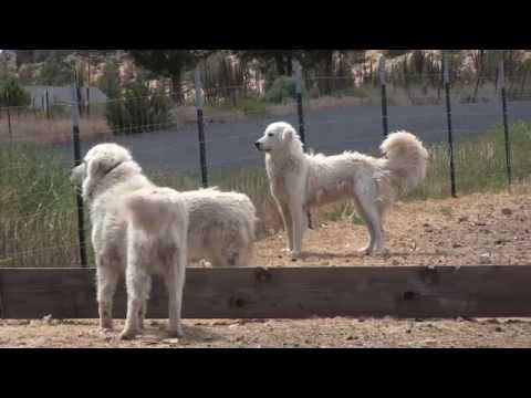 Maremma dogs guard goats near Terrebonne