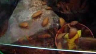 Madeira cockroach feeding