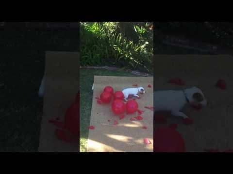 Twinkie's 21 balloon salute to Anastasia