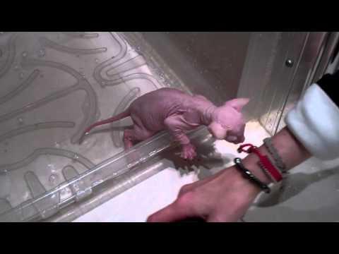 Sphynx kittens first bath