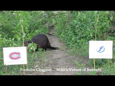 Video shows 2 beavers make their prediction on who will win The Stanley Cup this year.