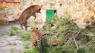 Мама леопард играет с малышами :) АРХИВ . Тайган. Mom leopard is playing with cubs. Taigan