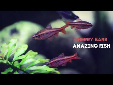 Cherry Barb: Amazing Fish