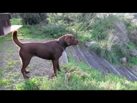 labrador barking in defense of territory on dogdownunder.com