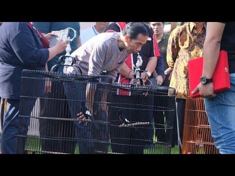 Burung Milik Jokowi Kalah di Lomba Kicau Burung