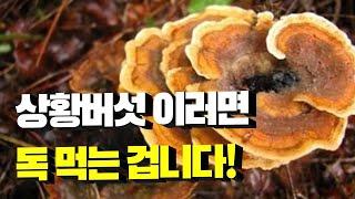 상황버섯 이렇게 먹으면 독 먹는 겁니다! 상황버섯 효능…