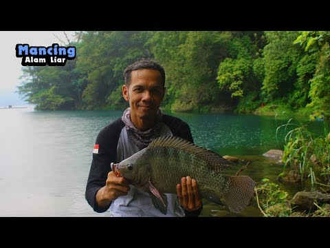 Big Tilapia Catch - Wild Tilapia Fish Hunting