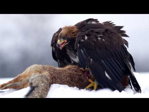 Golden Eagle Sounds and Pictures