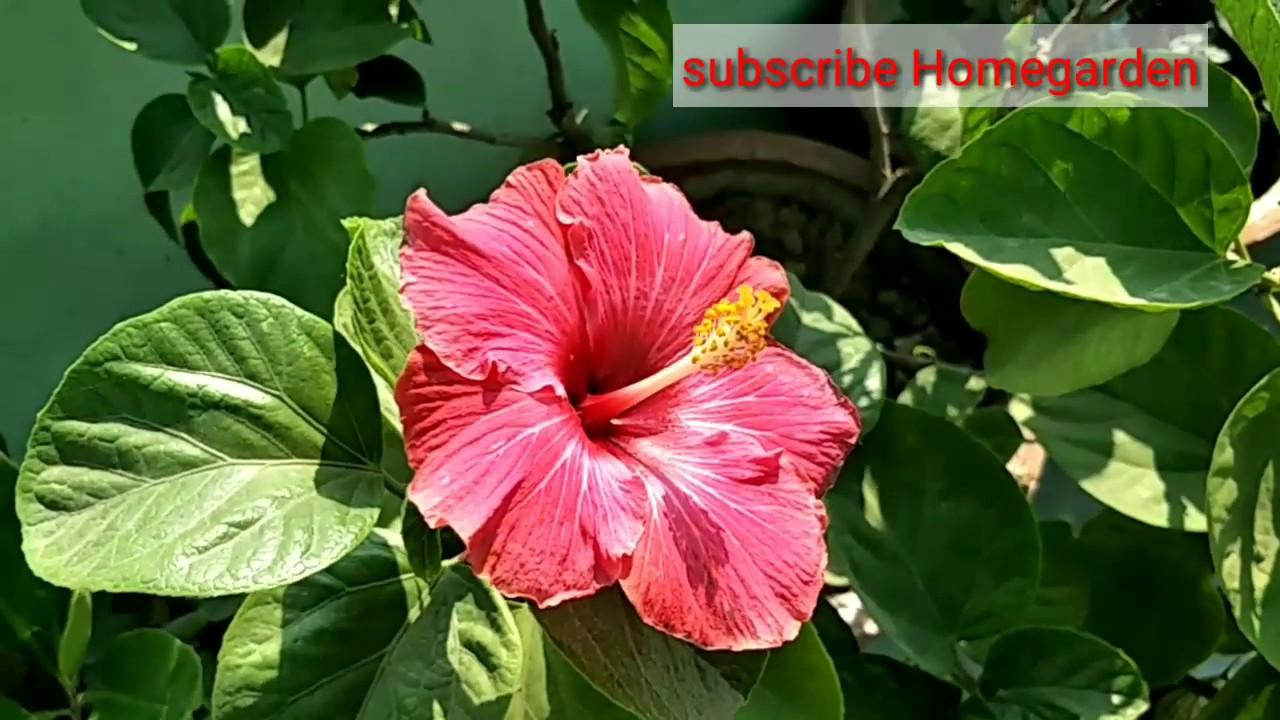 Hibiscus buds hibiscus hibiscus buds hibiscus izmirmasajfo