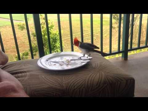KAUAI: RED-CRESTED CARDINAL steals food...(June 5, 2014)