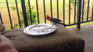 KAUAI: RED-CRESTED CARDINAL steals food...(June 5, 2014)