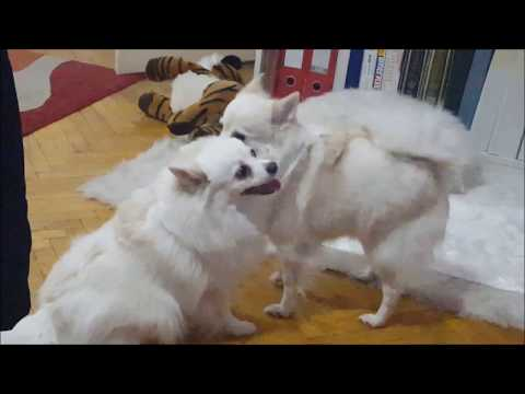 German Spitz: How they clean each others faces & ears