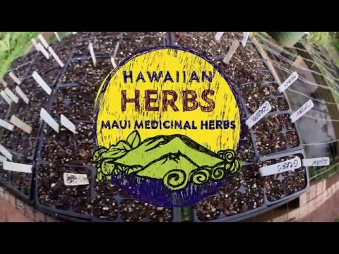 Alternative Medicine - Herbs Beyond Da Leaf