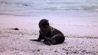Cute sea lion かわいすぎるこどもアザラシ@ガラパゴス