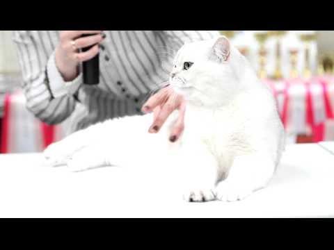 Silver shaded british shorthair cat