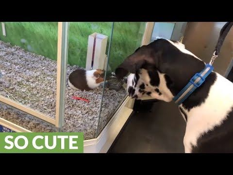 Curious Great Dane fascinated by friendly Guinea Pig