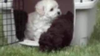 Miniature Akc Poodles For Sale 10-4-08 Indy Indiana