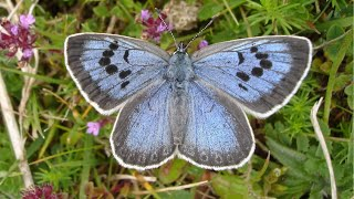 Rare large blue butterfly successfully reintroduced after 150 years